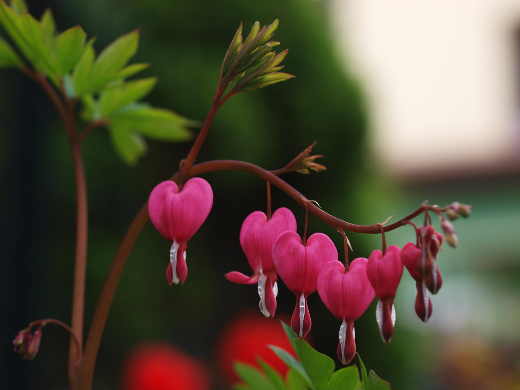 tr nendes herz dicentra bleeding heart p acz ce serc flickr. Black Bedroom Furniture Sets. Home Design Ideas
