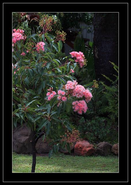 Pink flowering gum tree 6959 eucalyptus ficifolia proba flickr pink flowering gum tree 6959 by barbara j h mightylinksfo
