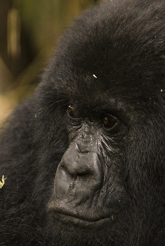 Rwanda Mountain Gorillas _DSC14645 | by youngrobv