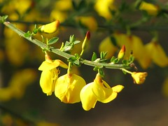 Wild Broom | by elhawk
