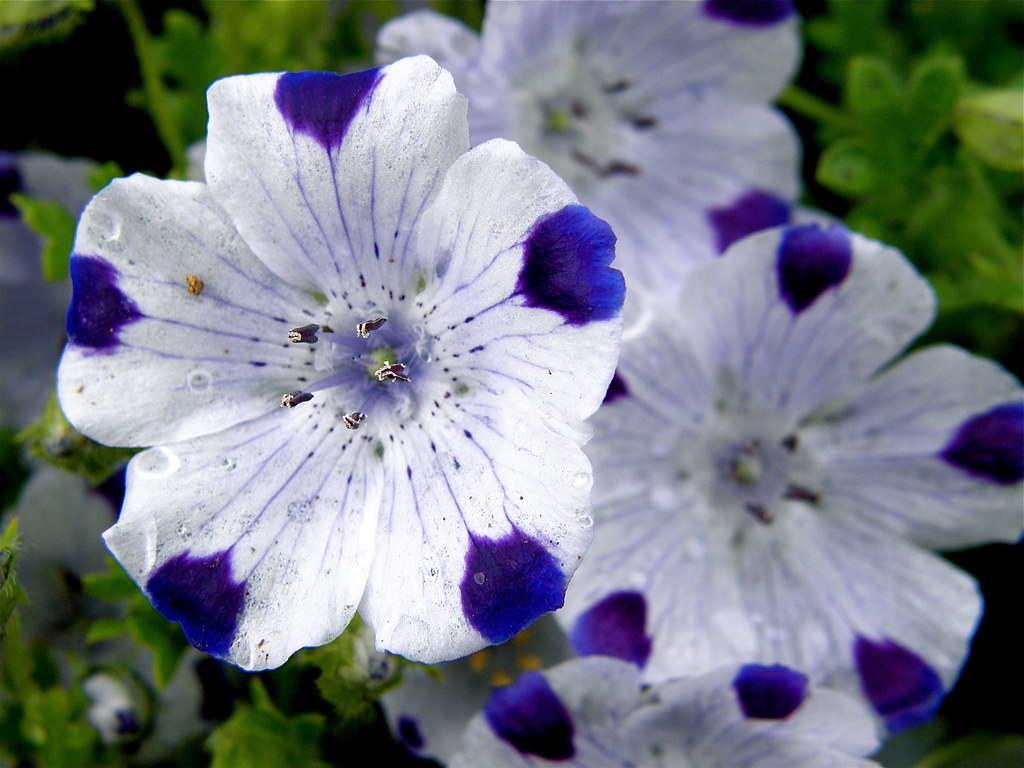 Nemophila maculata | Plant & Flower Stock Photography ...