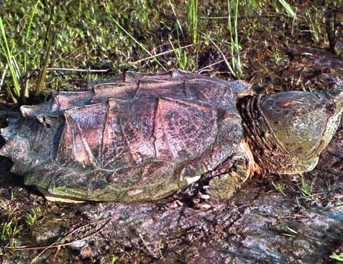 tortue alligator une grosse et vorace tortue d 39 eau douce patriarch flickr