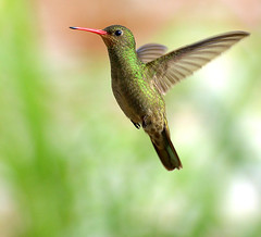 BEIJA-FLOR-DOURADO (Hylocharis chrysura) | by Dario Sanches