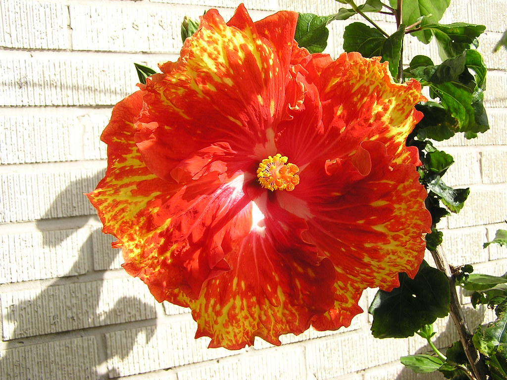 Sunshower in the Sun  This beautiful tropical hibiscus cult…  Flickr # Sunshower Lake_065423