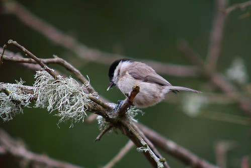 Marsh Tit 40D-1349 | by Rupert Pye