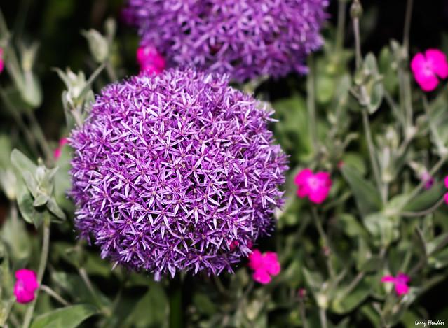 Flower Ball Ball-shaped-flower | Flickr