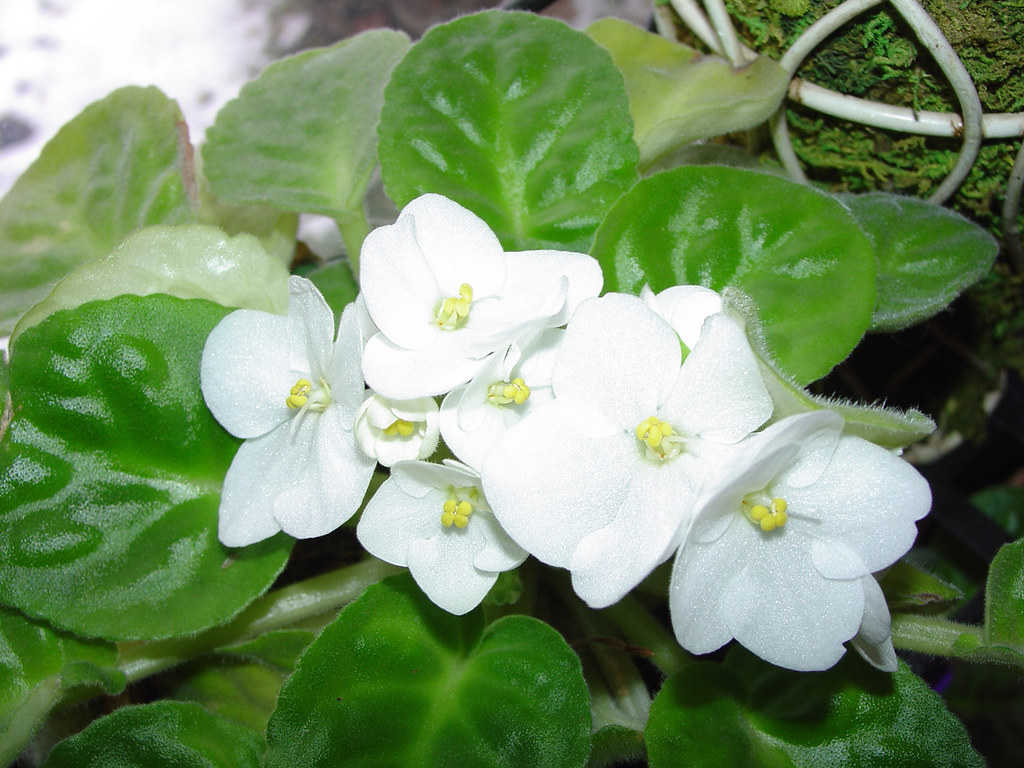 White African Violet Another On Of My African Violets