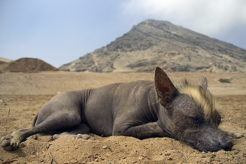 This hairless doggy is of a rare pre-Incan breed. He roams the ruins ...