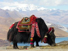 Tibet-5812 - Yak at Yundrok Yumtso Lake | by archer10 (Dennis) (56M Views)