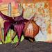 Stapelia schinzii var. schinzii flower Time-Lapse