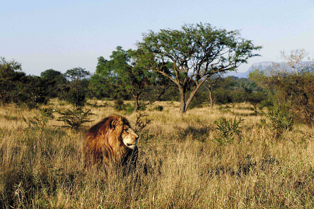 a lion in the kapama  limpopo  south africa