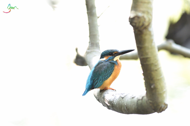 Common_Kingfisher_3142
