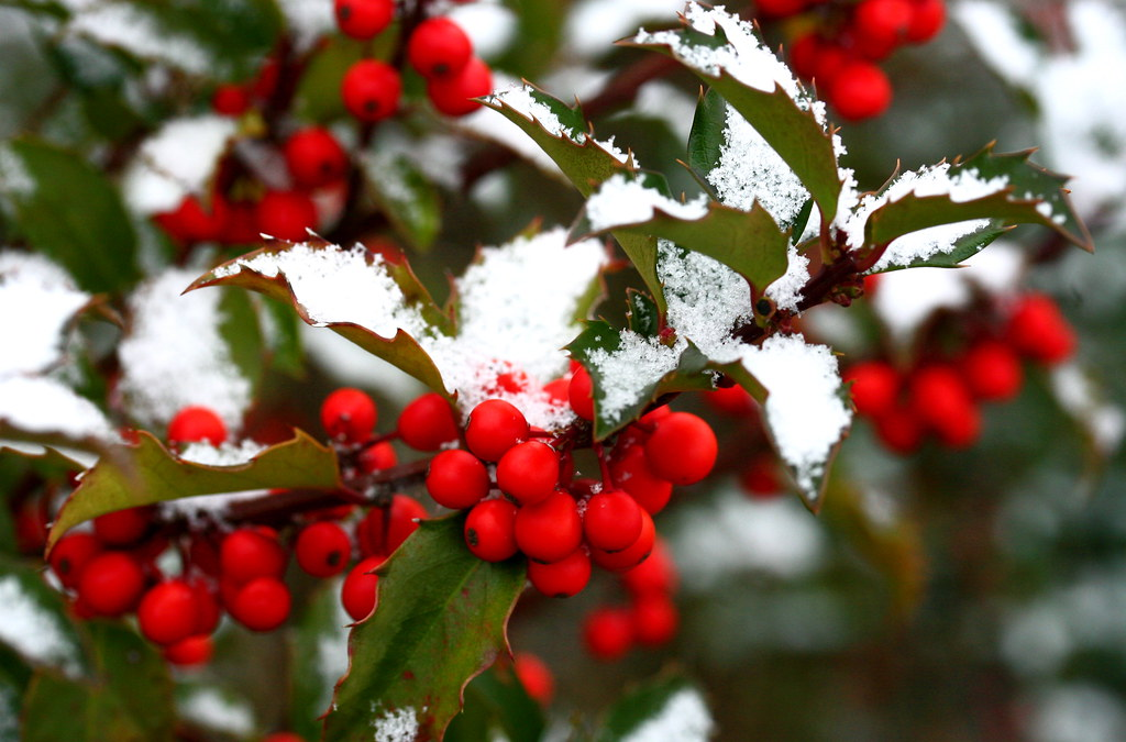 How to Grow Holly at Home in 10 Easy Steps