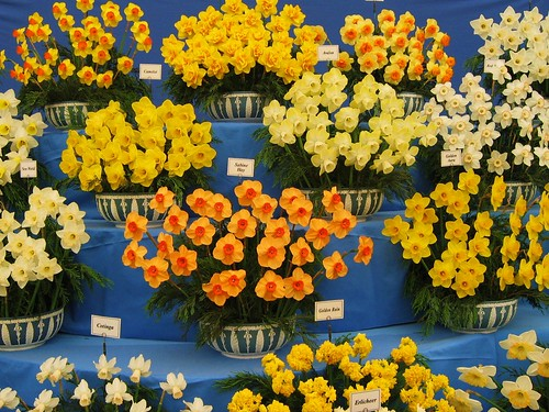 Gold medal winning daffodils at the 2005 chelsea flower sh - Chelsea flower show gold medals ...