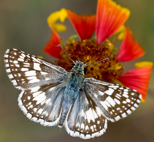 Checkered skipper | by jim_mcculloch
