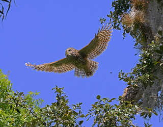 Barred Owl on the wing and one in the tree | by John Elias Photography