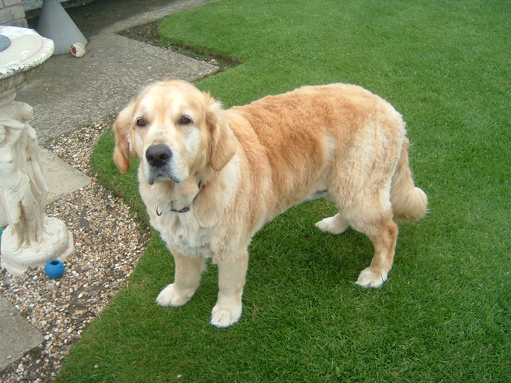 Breeze out Golden Retriever with a 'Puppy Cut'   Breeze and …   Flickr