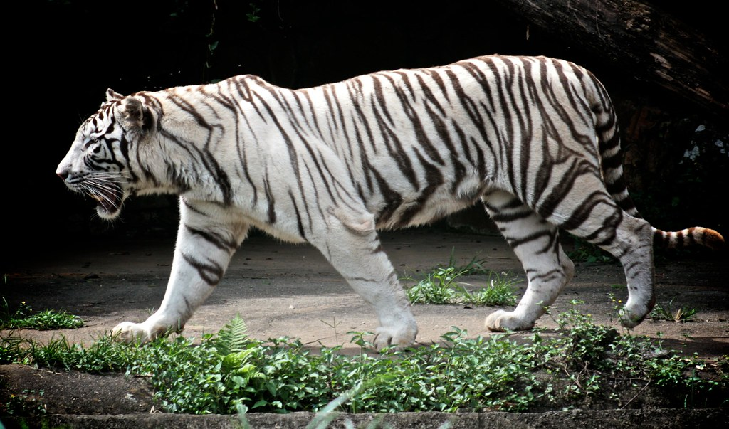 how to get a white tiger in wonder zoo