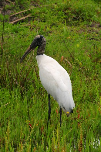 wood stork | by I am Sina