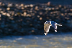 Mew Gull, 1 of 2 | by dmcantrell