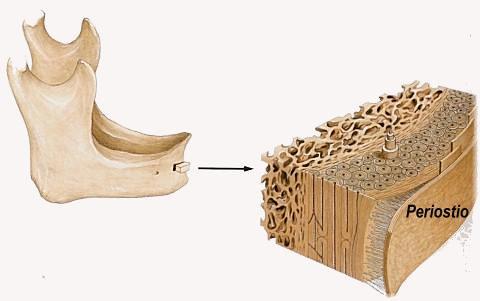 Hueso esponjoso y compacto | Tejido óseo compacto ( en el ex… | Flickr
