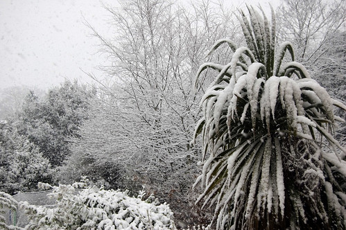 Snowy Palm | by Patrick Costello