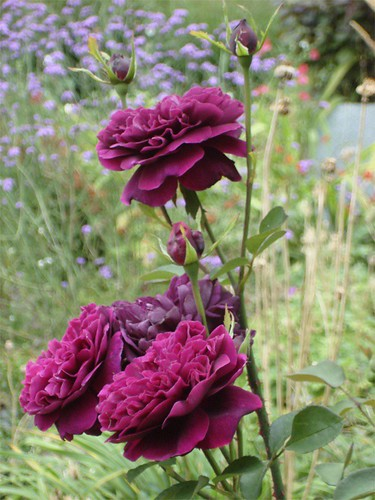 Rosa The Prince | by James's GW Blog
