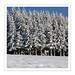 0043 Hinteralbis Tannen Schnee