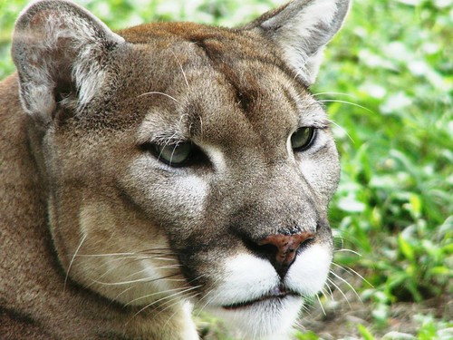 Florida Panther | by Monica R.