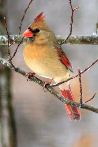 female cardinal | by maggies farm