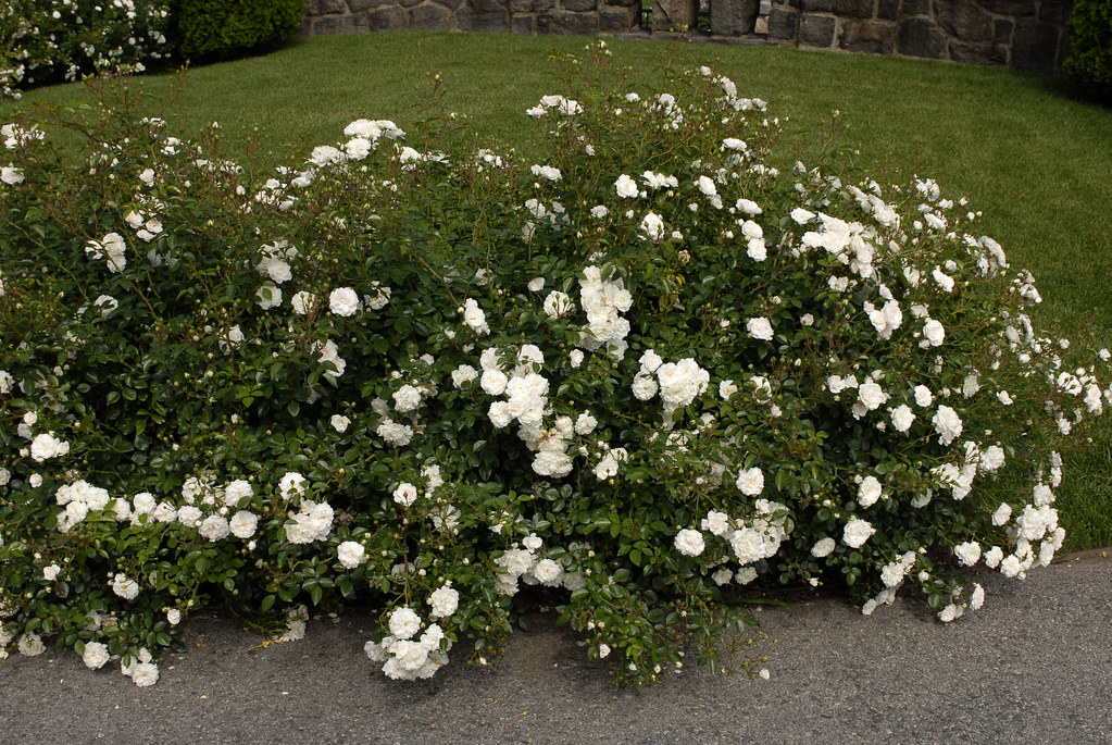 how to get rose bushes to stand up