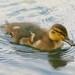 Love a Duck...:O)))