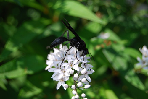 how to get rid of great black wasp