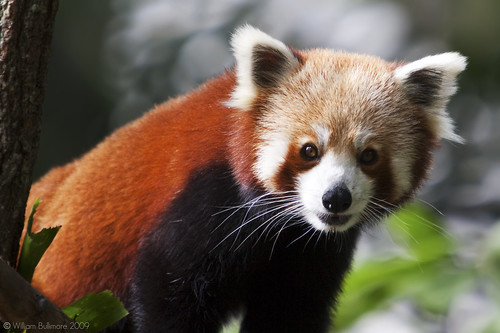 Firefox | by WilliamBullimore