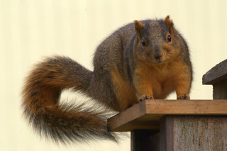 Fat squirel | by photomason