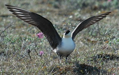 Long-tailed Jaeger - landing | by tgypsy_jcs