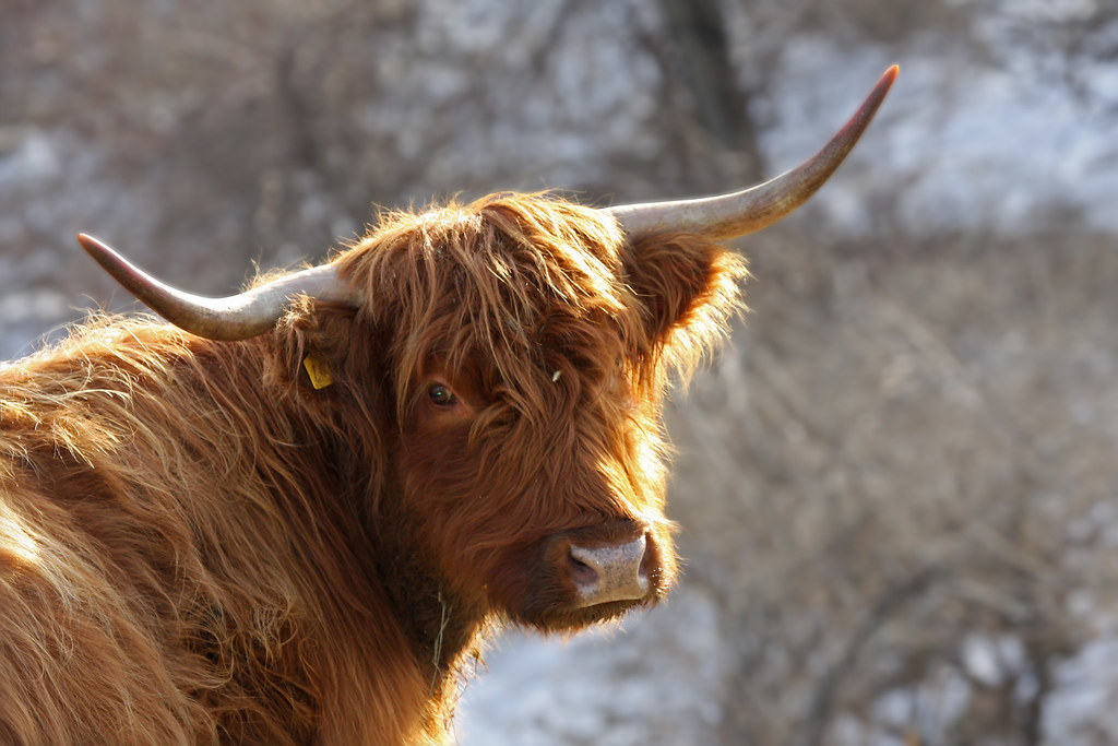 Highland cattle | Some of my extended family runs a ... Horns