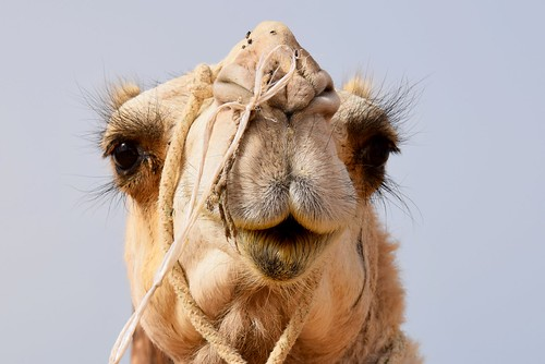 Camel | by blumcole6