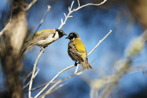 Black Headed Honeyeaters | by ron_co2002