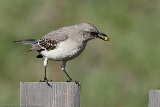 Northern Mockingbird  in the Cloisters City Park pond, Morro Bay, CA 3 | by mikebaird