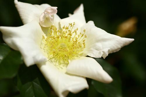 Rose-Rosa gigantea | 薔薇(バラ)・ロサ・ギガンティア | koizumi | Flickr