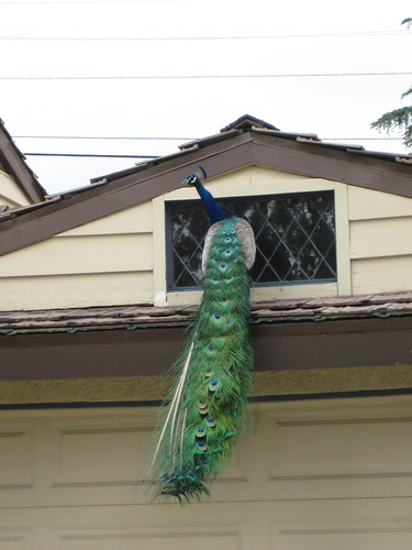 Peacock on garage | by GreenFrieda