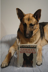 Dog Training for a German Shepherd.  Studying for the Final Exam. | by WB - CMH