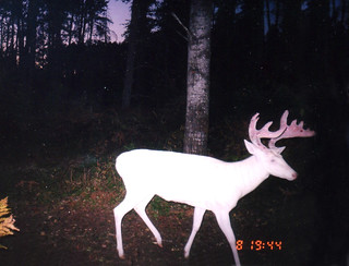 Albino Whitetail Deer Big Al 'Ghost to the Darkness' | by Lifeinthenorthwoods.com