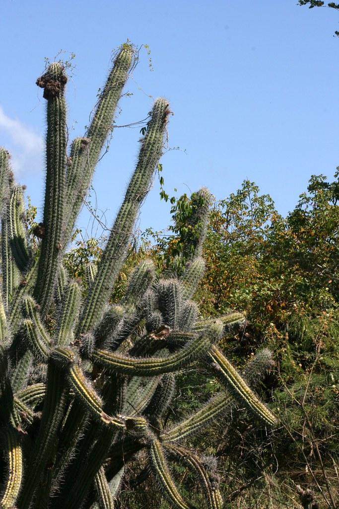 071229 1286 Cactus Bosque Seco De Guanica Jose Oliver Didier - Cactus-seco