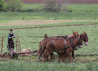 Six mules and a dog as she works the field | by Lorcan Otway