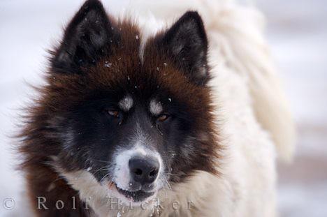 Canadian Eskimo Dog Canadian Eskimo Dog Canis