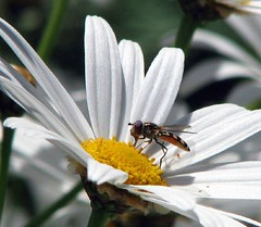 Daisies... and hover flies.... | by Mary Trebilco
