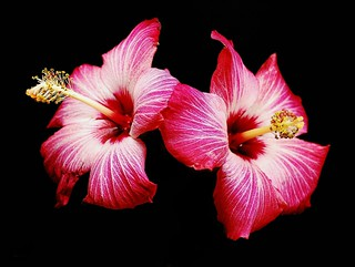 Hibiscus | by floralgal