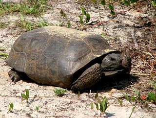 gopher tortoise one | by MechKit